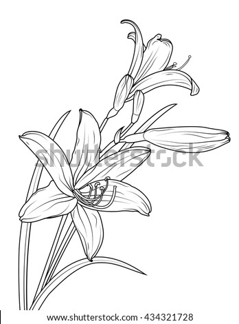 Isolated elegant white lily flowers with stem and leaves. Vector sketch outline drawing. Black and white.
