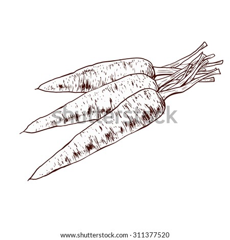 Isolated illustration of a carrot. Vector, hand-drawn images.