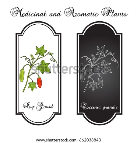Ivy gourd (Coccinia grandis), or Kowai, medicinal plant. Hand drawn botanical vector illustration