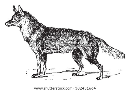 Jackal, vintage engraved illustration. Dictionary of words and things - Larive and Fleury - 1895.  - stock vector