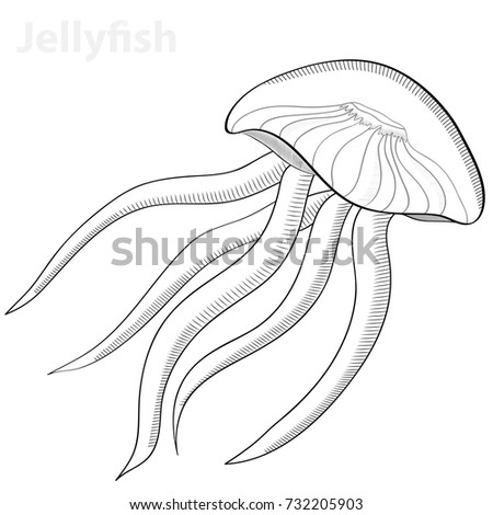 jellyfish in engraved style vector sketch of jellyfish hand drawn illustration vector illustration