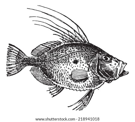 John Dory or Saint Pierre Fish or Saint Peter Fish or Zeus faber, vintage engraved illustration. Dictionary of words and things - Larive and Fleury - 1895. - stock vector