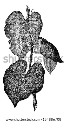 Kava or Piper methysticum, showing leaves, vintage engraved illustration. Usual Medicine Dictionary by Dr Labarthe - 1885 - stock vector