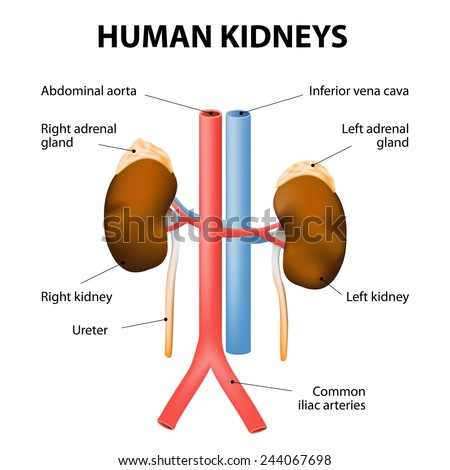 Kidneys, adrenal glands, and blood vessels (aorta and vena cava). Detailed medical illustration. Isolated on a white background. human excretory system. - stock vector