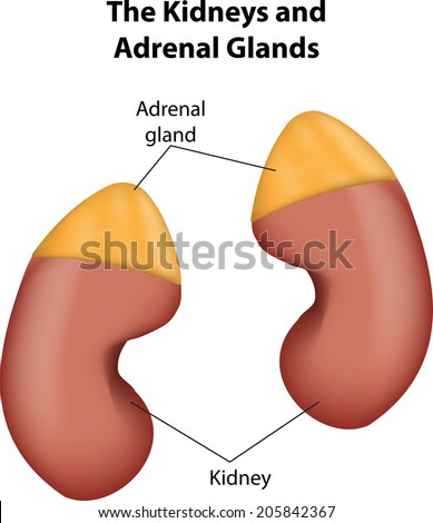 adrenal gland stock photos royalty free images & vectors  : adrenal gland diagram - findchart.co