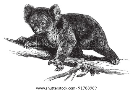 Koala (Phascolarctos cinereus) / vintage illustration from Meyers Konversations-Lexikon 1897
