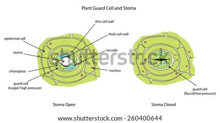 Labeled diagram showing plant stoma open and closed. - stock vector