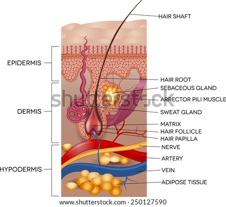 Labeled Skin and hair anatomy. Detailed medical illustration. - stock vector
