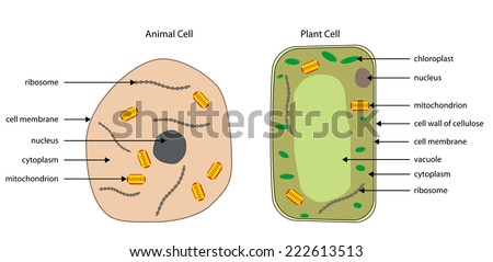Plant cell stock images royalty free images vectors shutterstock labelled diagrams of typical animal and plant cells with editable layers ccuart Image collections
