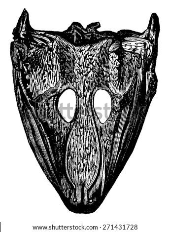 Labyrinthodonts heads, Archegosaurus and Mastodonsaurus, vintage engraved illustration. Earth before man. - stock vector