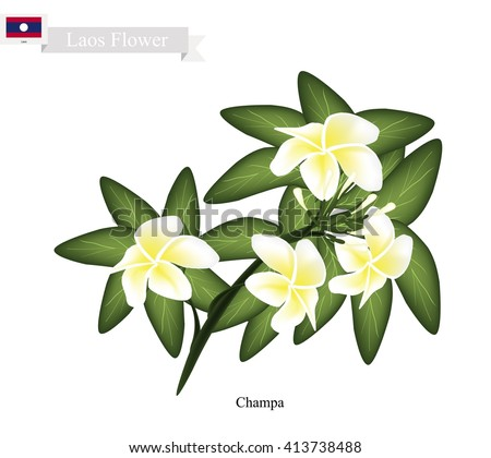 Lao Flower, Illustration of Champa Flowers or Plumeria Frangipanis Flowers. The National Flower of Lao. - stock vector