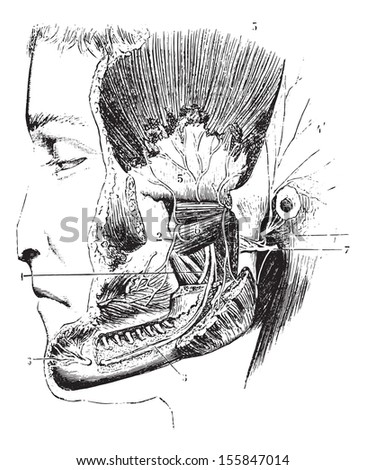 Lateral pterygoid or External pterygoid, vintage engraved illustration. Usual Medicine Dictionary by Dr Labarthe - 1885. - stock vector
