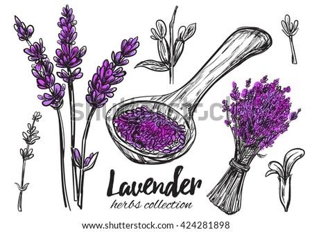 Lavender. Vector hand drawn collection of medicinal, cosmetics herbs. - stock vector