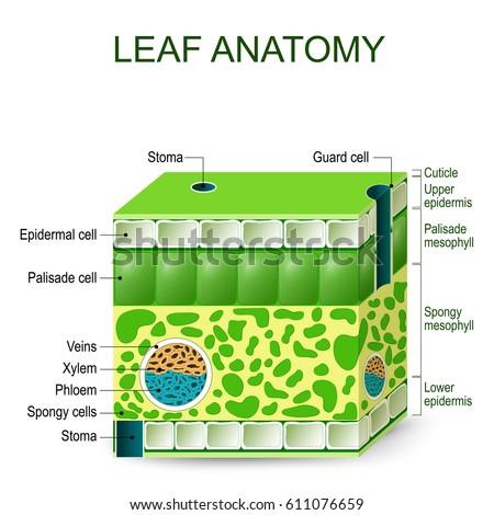 Leaf Cell Diagram Gcse Scienceplants Wikibooks Open Books For