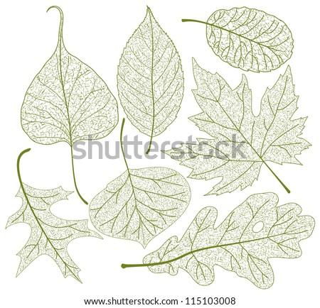 Leaf skeletons vector set. - stock vector
