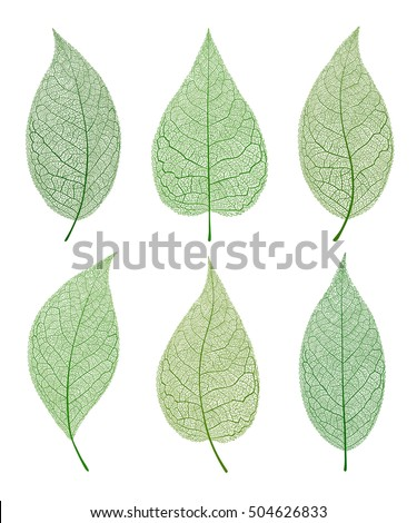 Leaf vector  isolated and and skeleton. Green set.