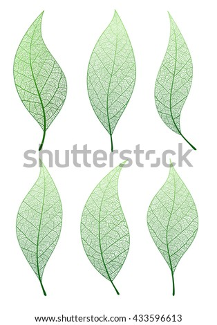 Leaf, vector set . Collection green natural tree leaves.