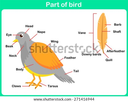 Leaning Parts of bird for kids -  Worksheet  - stock vector