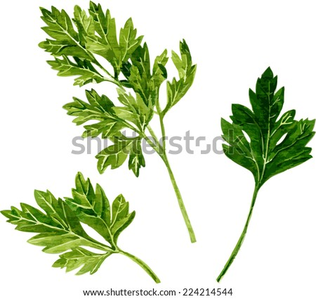 leaves of parsley drawing by watercolor on white background, hand drawn vector illustration - stock vector