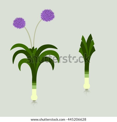 Leek with leaves, roots and flowers. Blooming. In the other side, the same plant with the cut sheets. - stock vector