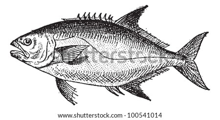 Leerfishor Lichia amia, vintage engraved illustration. Dictionary of Words and Things - Larive and Fleury - 1895 - stock vector