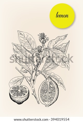 Lemon. Hand drawn illustration of a lemon with its leaves, stalk and flowers. Vector drawing - stock vector