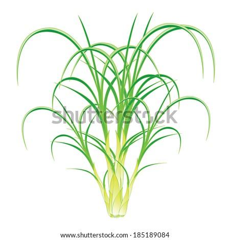 Lemongrass Herb,Vector Illustration of Vegetable Fresh - stock vector