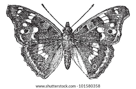 Lesser Purple Emperor or Apatura ilia, vintage engraved illustration. Dictionary of Words and Things - Larive and Fleury - 1895 - stock vector