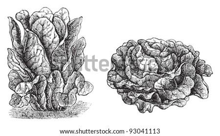 Lettuce - vegetable / vintage illustration from Meyers Konversations-Lexikon 1897 - stock vector