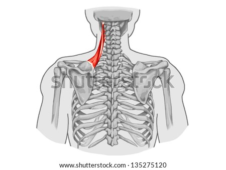 Levator Scapulae Muscle Didactic Board Anatomy Stock-Vektorgrafik ...