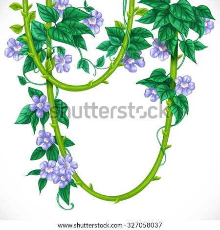 Liana with blue flowers isolated on a white background