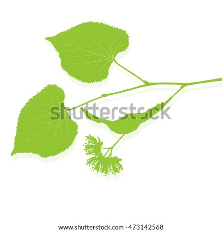 Linden tree branch with green leaves and flowers vector background isolated illustration
