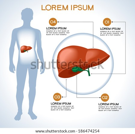 Liver. Modern medical infographics. Internal organs in a human body. Anatomy of people - stock vector