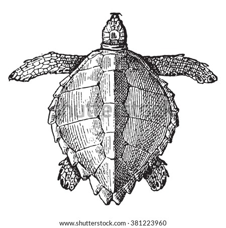 Loggerhead sea turtle, vintage engraved illustration. Dictionary of words and things - Larive and Fleury - 1895. - stock vector