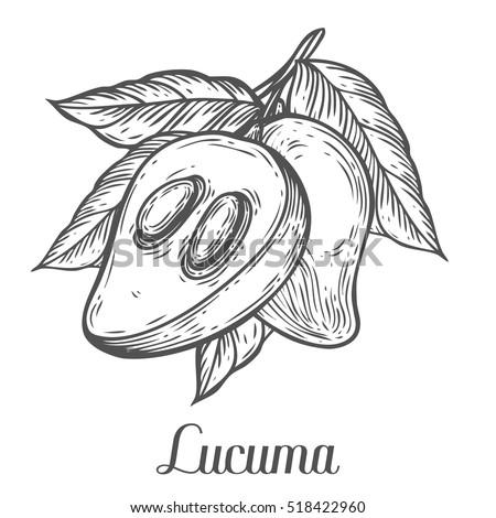 Lucuma Fruit Branch Leaf Plum Fruit Vector de stock (libre de ...