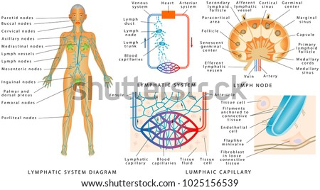Lymphatic System Lymphatic Diagram Human Structure Stock Vector ...