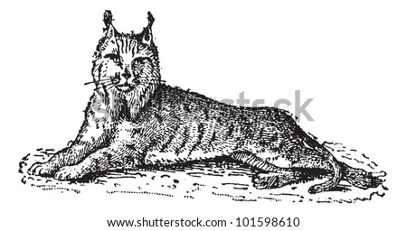 Lynx or Bobcat or Lynx lynx, vintage engraved illustration. Dictionary of Words and Things - Larive and Fleury - 1895