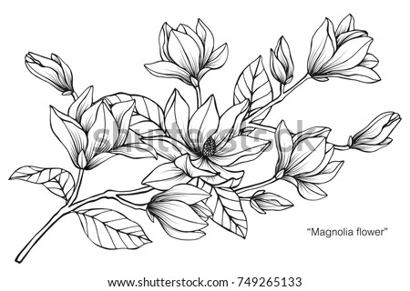 Magnolia flower drawing sketch black white stock vector 749265133 magnolia flower drawing and sketch with black and white line art on white mightylinksfo