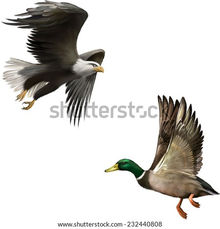 Male Mallard Duck Flying, illustration of american bald eagle in flight isolated on white background - stock vector
