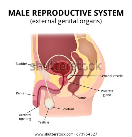 Male reproductive system. Anatomy of male organs, the structure of the genitalia in the section.