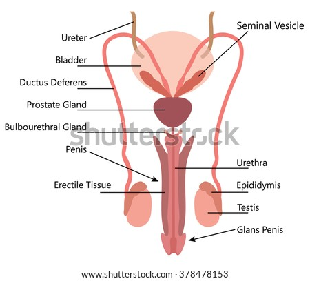 male reproductive system stock images, royalty-free images, Sphenoid