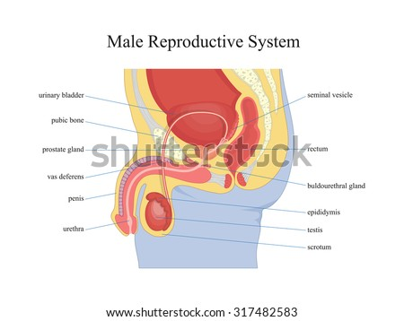 male reproductive system stock images, royalty-free images, Human Body