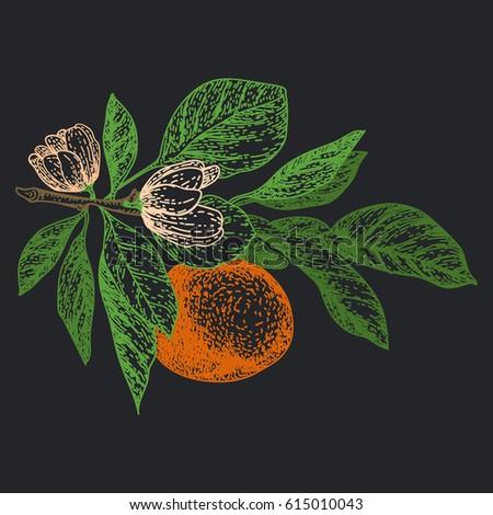 Mandarin Orange Botanical Illustration