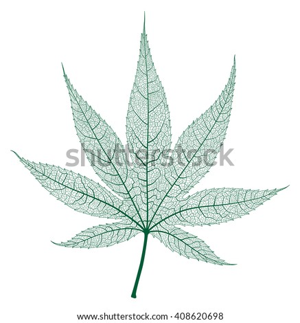 Maple leaf isolated and skeleton. Vector. - stock vector