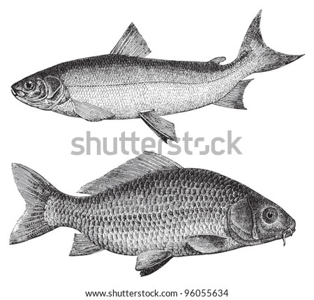 Maraene (Coregonus maraena) above and Common carp (Cyprinus carpio) under / vintage illustration from Meyers Konversations-Lexikon 1897 - stock vector