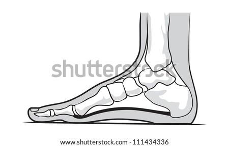 Medial Foot Anatomy Stock Vector (Royalty Free) 111434336 - Shutterstock