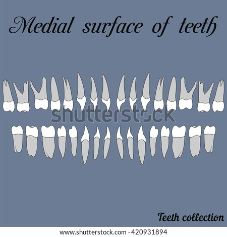 Medial surface of teeth surface of teeth - incisor, canine, premolar, molar upper and lower jaw. Vector illustration for print or design of the dental clinic - stock vector