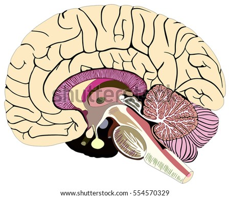 Median Section Human Brain Anatomical Structure Stock Vector
