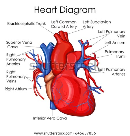 Medical education chart biology heart diagram stock vector hd medical education chart of biology for heart diagram vector illustration ccuart Choice Image
