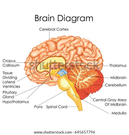 Parts of human brain diagram example electrical circuit medical education chart biology human brain stock vector 645657796 rh shutterstock com diagram showing parts of ccuart Choice Image
